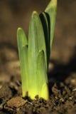 w górę vertical zamknięty daffodil Fotografia Royalty Free
