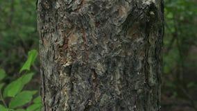 W górę wideo szara sosny barkentyna w pionowo ruchu na lasowym tle zbiory wideo
