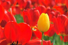 w górę widok pączkowy zamknięty tulipan Obraz Stock