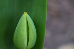 w górę widok pączkowy zamknięty tulipan Zdjęcia Stock