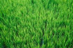 W górę widok zielony ryżu pola wzór zdjęcie stock