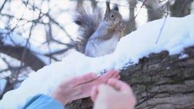 W górę wiewiórczy bierze karmowy poza kontrolą Wiewiórka bierze jedzenie od ręk ludzie w parku w zimie Jedzenie obraz stock