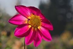 W górę wizerunku backlighted wieczór słońca dalią kwiat barwił w jaskrawym kolorze żółtym i menchiach obraz royalty free