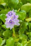 W górę zakończenia na kwitnąć Wodnego hiacyntu Eichhornia Crassipes rośliny obraz royalty free