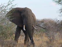 W górę zamkniętego słonia Obrazy Stock