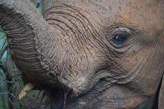 W górę zamkniętego słonia Zdjęcia Stock