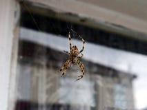 w górę zebry powiekszanie zamknięty krańcowy wysoki pająk obrazy stock