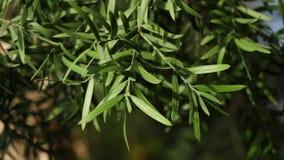 W górę zielonych liści drzewa w ciepłym słońcu Zielony sukulent opuszcza elongated iluminuje światłem słonecznym na tle zbiory