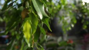 W górę zielonych liści drzewa w ciepłym słońcu Zielony sukulent opuszcza elongated iluminuje światłem słonecznym na tle zbiory wideo