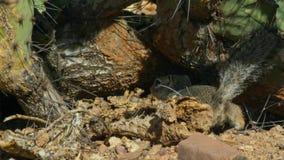 W górę zmielonego wiewiórczego Xerus inaurus w Kalahari pustyni, Południowa Afryka obrazy royalty free