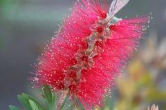 W górę czerwonego bottlebrush kwiatu zdjęcia royalty free