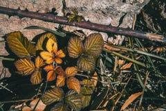W górę Rosa rubiginosa w zimie fotografia stock