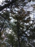 W górę widoku na ciemnych drzewach Fotografia Royalty Free