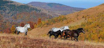W Górach dzicy konie Obraz Royalty Free