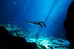W głębokim błękitny oceanie manta promień Obrazy Royalty Free