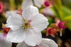 W g?r? fotografii czere?niowego drzewa kwiat zdjęcie stock