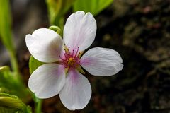 W g?r? fotografii czere?niowego drzewa kwiat obraz royalty free