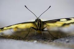 W g?r? rzadkiego swallowtail motyla zdjęcie stock