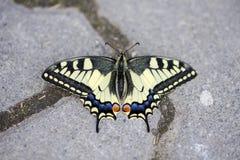 W g?r? rzadkiego swallowtail motyla obraz stock