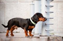 W galanteryjnym kołnierzu jamnika pies Zdjęcia Stock