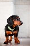 W galanteryjnym kołnierzu jamnika pies Obrazy Royalty Free