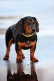 W galanteryjnym kołnierzu jamnika pies Fotografia Stock