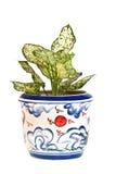 W garnku Aglaonema Roślina Zdjęcie Stock