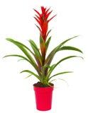 W garnku Bromelia roślina Obraz Royalty Free