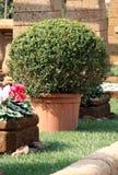 W garnku Bush Buxus Fotografia Royalty Free