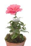W garnku Hibiskus kwiat Obrazy Royalty Free