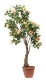 W garnku różany drzewo Zdjęcie Stock