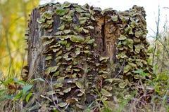 W Gniciu lasowy Drzewny Fiszorek Obraz Stock