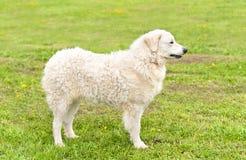 Węgra Kuvasz pies w parku Obrazy Stock