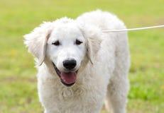 Węgra Kuvasz pies w parku Fotografia Stock