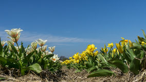 W Holandiach tulipanu pole Fotografia Royalty Free