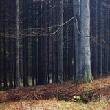 W iglastym lesie samotny buk Obrazy Royalty Free