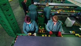 W jabłczanej przerobowej fabryce, pracownicy w rękawiczkach sortują jabłka Dojrzali jabłka sortuje rozmiarem i kolorem wtedy paku zbiory