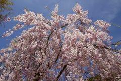 W Japonia czereśniowi okwitnięcia Zdjęcie Royalty Free