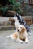 W jardzie dwa psa Zdjęcie Stock