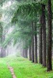 W jedlinowym lasowym wczesnym poranku Wrzesień mgła Zdjęcie Stock