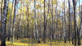 W jesień brzoza las zdjęcie wideo