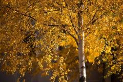 W jesień brzozy drzewo Fotografia Royalty Free