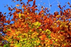 W jesień buków liść Obraz Stock