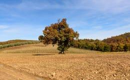 W jesień dębowy drzewo Fotografia Stock