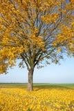 W jesień klonowy drzewo Zdjęcia Royalty Free