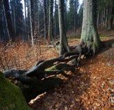 W jesień lesie kołtuniaści korzenie Obrazy Stock
