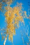 W Jesień brzoz drzewa Zdjęcie Royalty Free