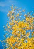 W Jesień brzoz drzewa Fotografia Royalty Free
