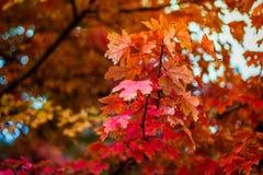 W jesień klonowy drzewo Zdjęcie Stock