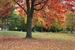 W jesień klonowy drzewo Fotografia Stock
